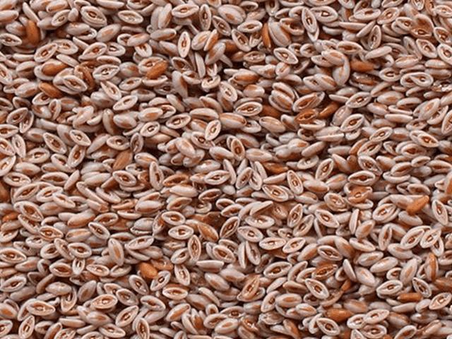 seeds-amaranth